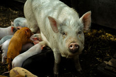 A lot of pigs. A lot of little piglets with their great big pig Royalty Free Stock Photo