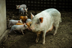 A lot of pigs Royalty Free Stock Photos