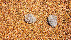 A lot of pine nuts Royalty Free Stock Photography