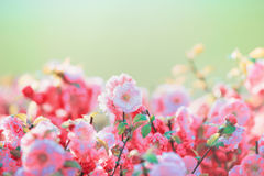 A lot of pink pale blossom at green nature background in garden or park, outdoor Stock Images