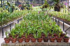 Lot of plants in the pots inside glasshouse Stock Photos