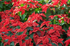 Lot of Poinsettias. Lot of red Poinsettias, they are just blooming in Christmas Time Stock Images