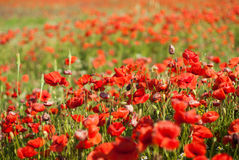 A lot of poppies in the field Royalty Free Stock Images