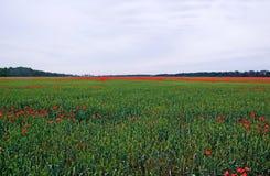 Lot of poppys among rye. Stock Images