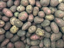 A lot of potatoes dug out of the garden royalty free stock photos