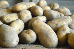 A lot of potatoes just picked Stock Image