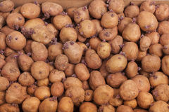 Potatoes for planting Royalty Free Stock Photos