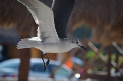 Lot poza: seagull Zdjęcie Royalty Free