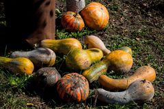 A lot of pumpkins on the ground. Lot of pumpkins on the ground Stock Photo