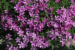 A lot of purple floks flowers with green foliage Stock Photos
