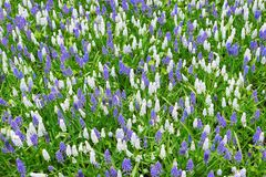 A lot of purple hyacinths created from the birds perspective. Spring texture Royalty Free Stock Images