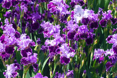 Lot of purple iris flowers Royalty Free Stock Photography