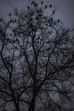 A lot of ravens sitting on leafless tree. Night photo Stock Images