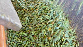 A lot of raw cucumbers stock video footage