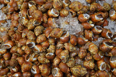 A lot of raw Spotted babylon shellfish for selling Stock Photography