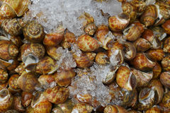 A lot of raw Spotted babylon shellfish for selling Royalty Free Stock Photo