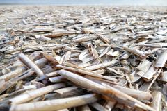 A lot of razor clams at beach in northern Holland stock photos