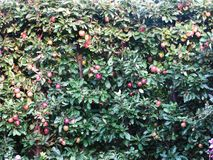 A lot of red apples ripened on an apple tree. royalty free stock images