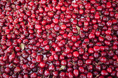 A lot of red cherries Royalty Free Stock Photos