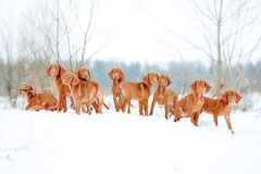 A lot of red dogs visla are playing the snow, portrait stock image