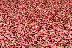A lot of red dry leaves lying Royalty Free Stock Photo