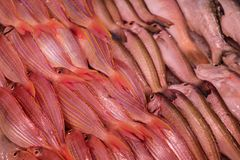 A lot of red fishes Royalty Free Stock Photos