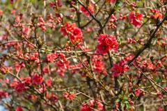 Lot of red flowers Japanese quince or Chaenomeles japonica covered branches on blurred garden background. Spring sunny day royalty free stock image