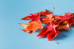 A lot of red maple leaves Stock Photos