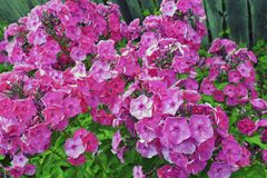 A lot of red-pink flowers in summer in the garden. royalty free stock images