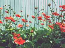 A lot of red poppies Stock Photo