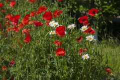 A lot of red poppies and small daisy flowers Royalty Free Stock Images