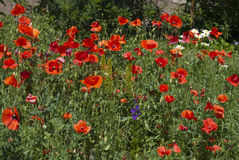 A lot of red poppies and small daisy flowers Stock Image