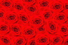A lot of red roses Royalty Free Stock Images