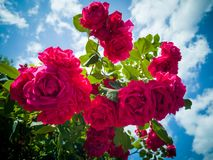 A lot of Red Roses on the Blue Sky stock photos