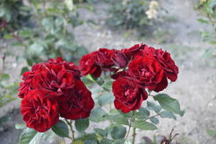 A lot of red roses. Royalty Free Stock Photography