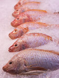 Red snapper fishes. A lot of red snapper fishes on ice Royalty Free Stock Images