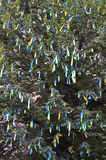 A lot of ribbons in the colors of the Ukrainian national flag adorn the branches of a tree. Performance for EuroMaida. N stock images