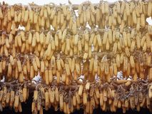 A lot of ripe dried corn cobs hanging on bamboo bar in the autumn sun Royalty Free Stock Photos