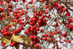 Lot of ripe hawthorn berries on the bush Royalty Free Stock Image