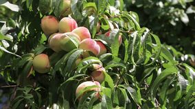 A lot of ripe peaches with leaves stock video