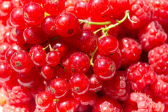 A lot of ripe raspberry and currant close-up. As background. Mix ripe berries Stock Image