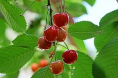 Ripe red berries of a cherry on a branch with green leaves stock photo