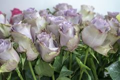 A lot of rose flowers gentle lilac color closeup.  stock photos