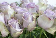 A lot of rose flowers gentle lilac color closeup.  royalty free stock photography