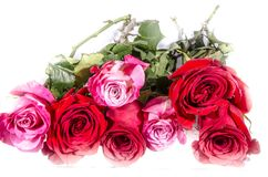 Lot of roses four red and three pink and white with some green. A rose is a woody perennial flowering plant of the genus Rosa, in the family Rosaceae, or the royalty free stock image