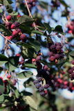 A lot of saskatoon berries Royalty Free Stock Images