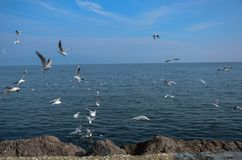 A lot of sea gulls fighting for bread . Flock of seagulls flying royalty free stock images