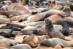 Seals in Namibia Royalty Free Stock Photos