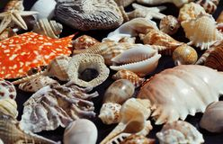 Lot of seashells on setout together with crab Royalty Free Stock Images