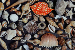 A lot of seashells on setout together with crab Royalty Free Stock Photography